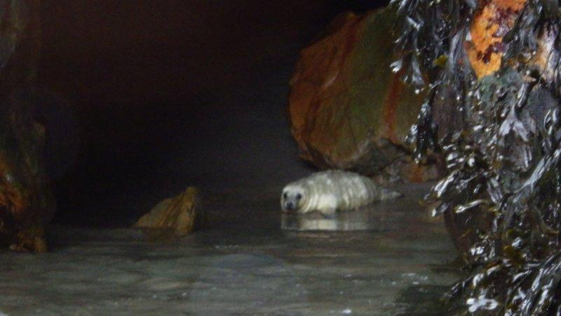 Baby Seal St Agnes