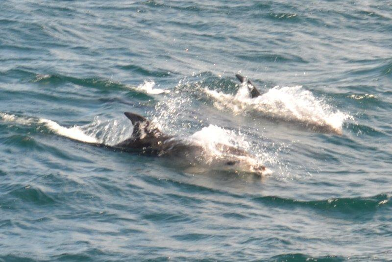 A pod of dolphins and 3 seals