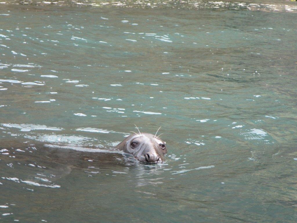 Silver Back the grey seal following kayak tour