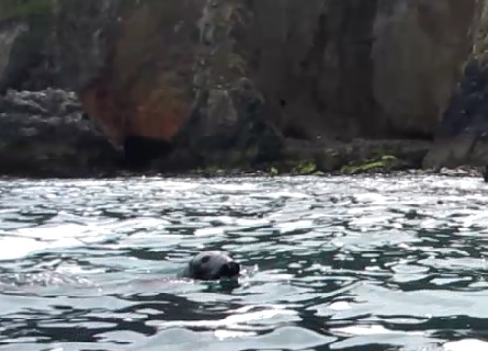 A seal joins a Koru Kayaking from Trevaunance Cove, St Agnes, Cornwall