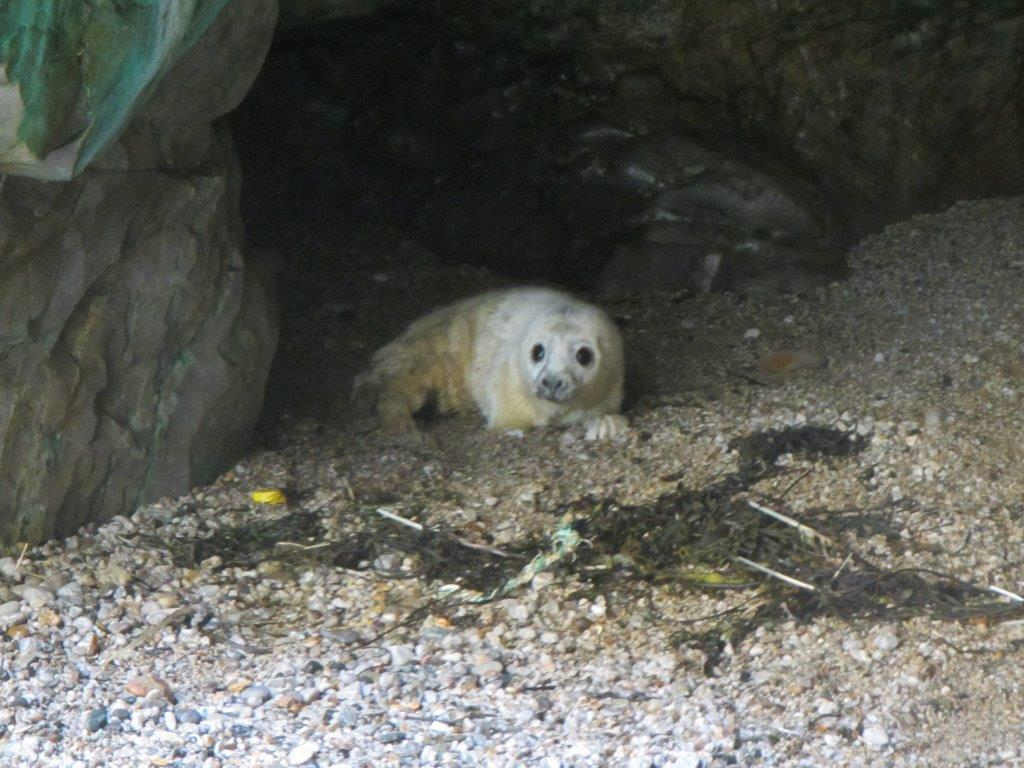 Grey Seal Pupping Season starts near St. Agnes