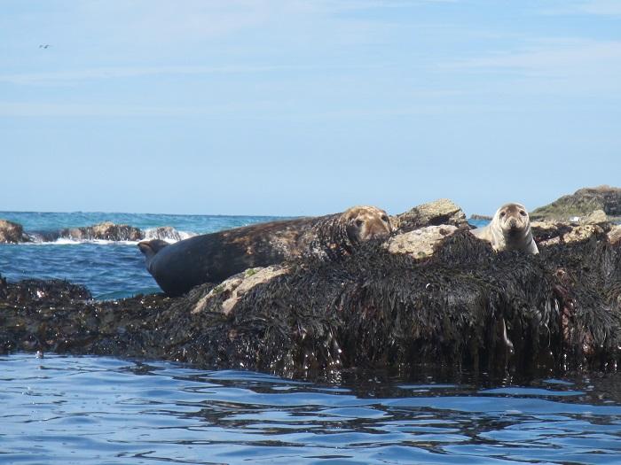 Sunbathing Seals, Hanover Cove, St Agnes Coastline, Cornwall