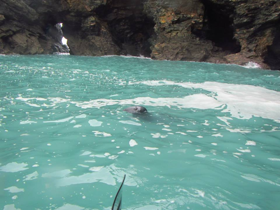 Seals spotted St Agnes, Koru Kayaking