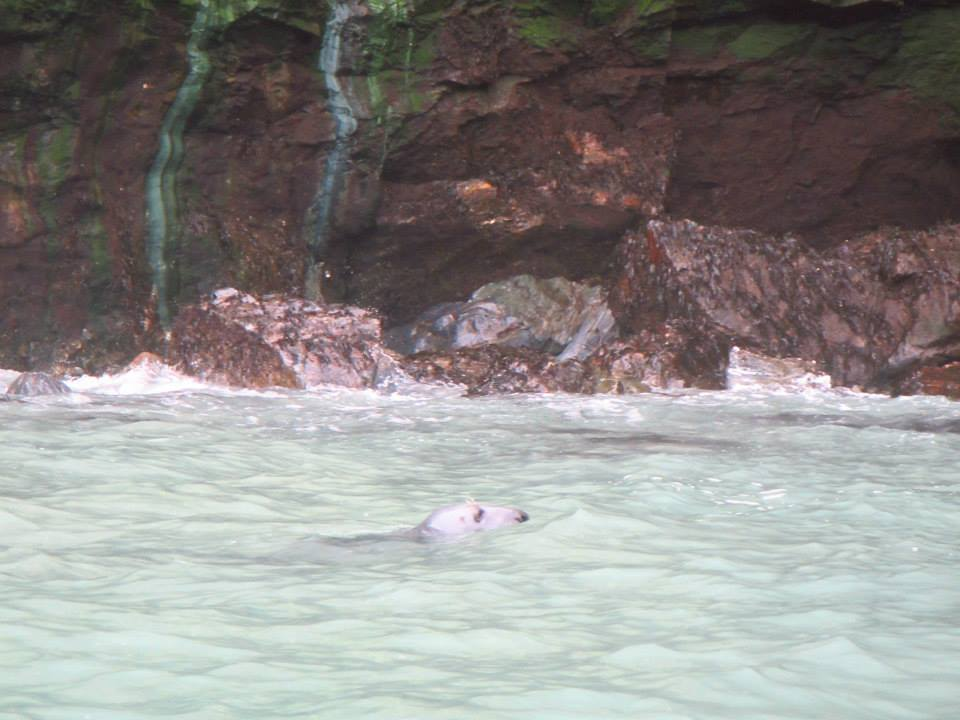 Bull seal spotted by Koru Kayaking in St Agnes