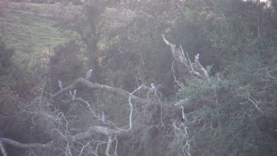 Herons in trees
