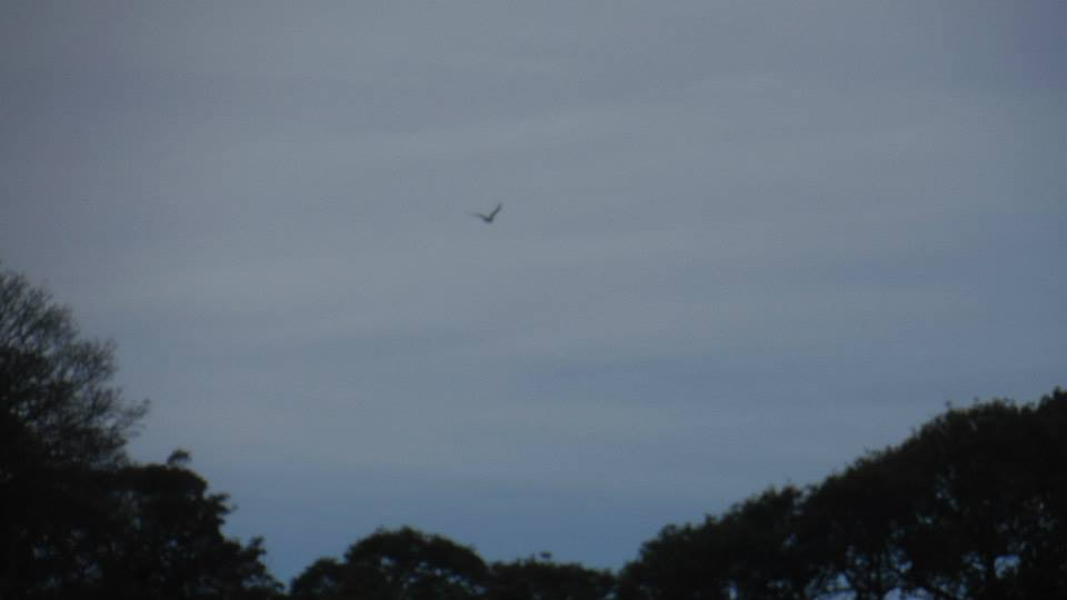 Osprey spotted along the Creek!