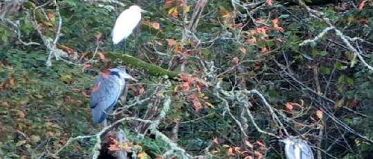 Koru November herons, egrets, koru kayaking