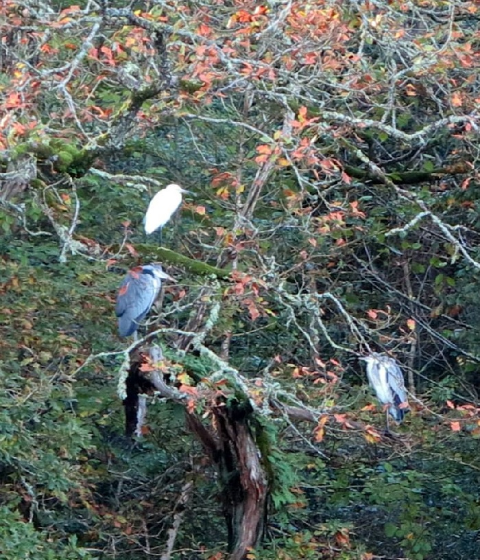 Koru November herons, egrets, koru kayaking