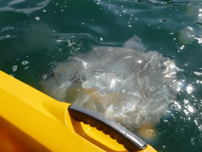 sunfish by kayak, trevaunance cove