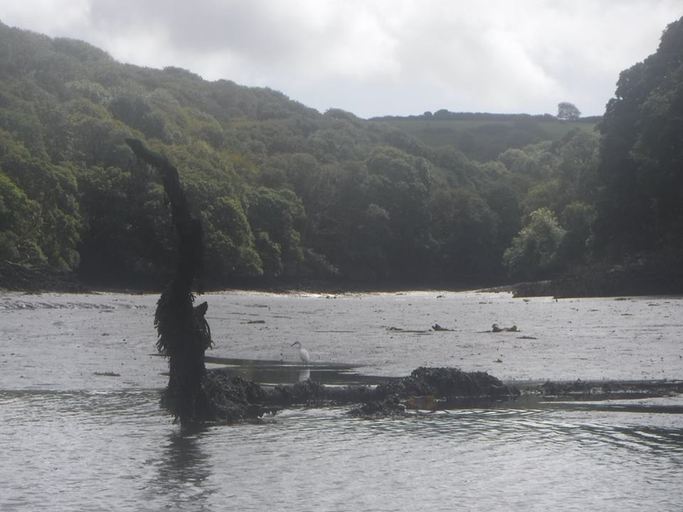 egret, frenchmans'creek, helford river, cornwall