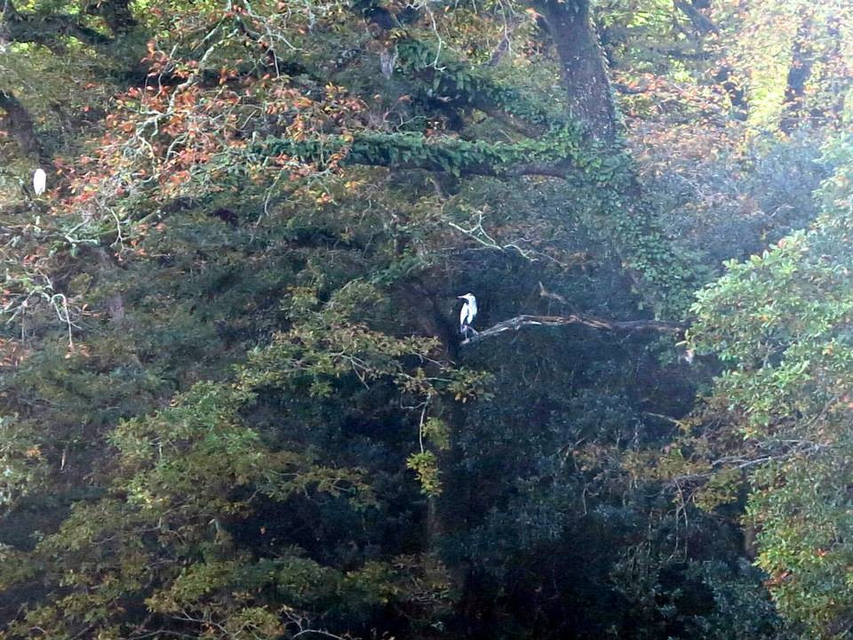 herons, egrets, frenchmans creek, budock vean hotel, cornwall, koru kayaking