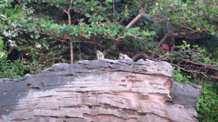 Monkeys Koh Kood