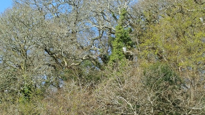 Herons in the trees, Heronry, Polwheveral Creek - Koru Kayaking & Helford River Cruises low res