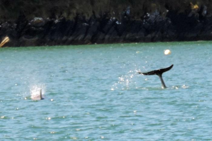Dolphins, Helford River, Cornwall, Koru Kayaking, Helford River Cruises