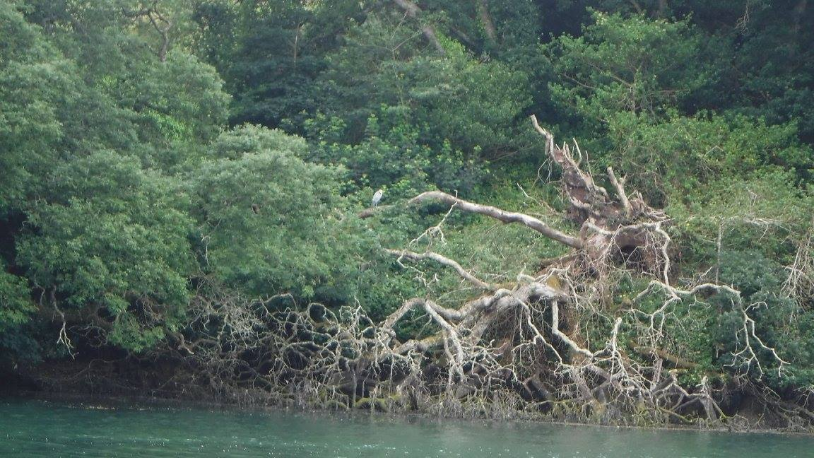 Heron on fallen branch