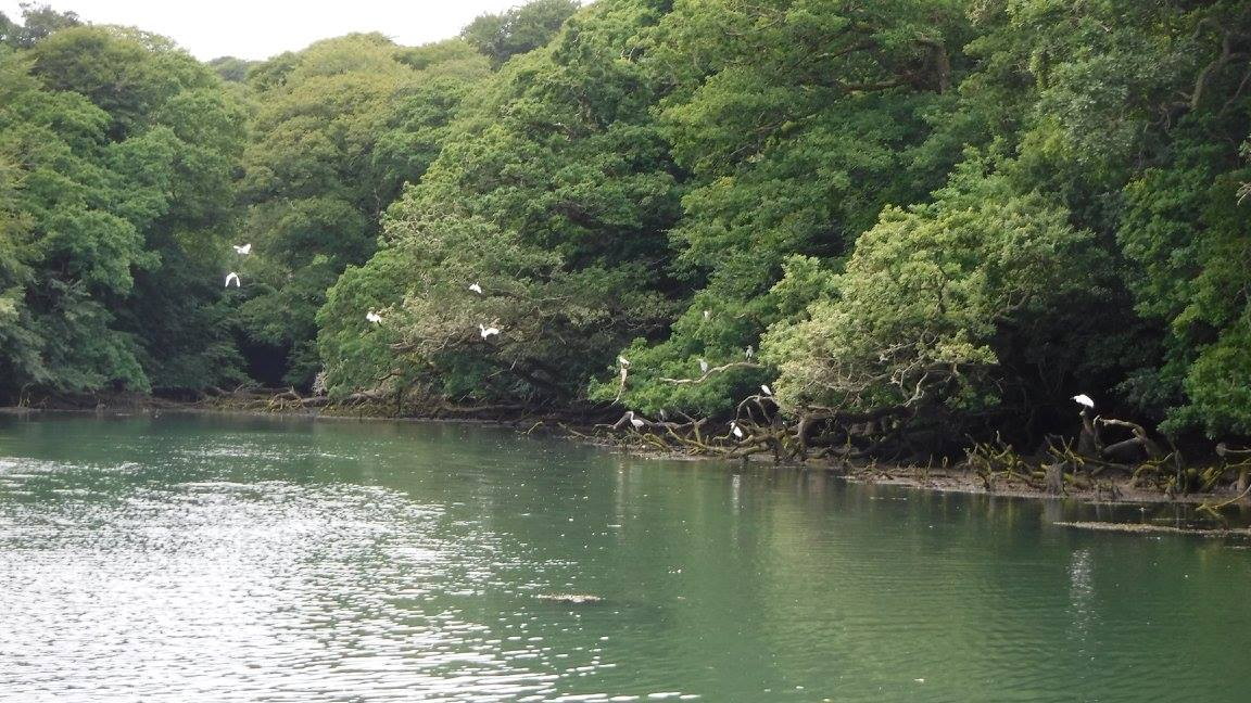 Herons and Little Egrets, Helford River, Cornwall