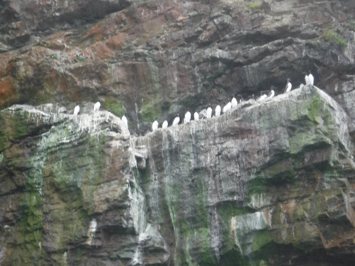 Razorbills and Guillemots lined up on the cave and cliff lelges