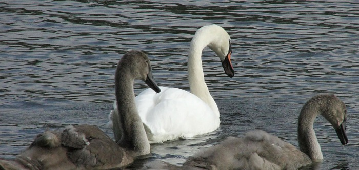 swans-and-cygnets