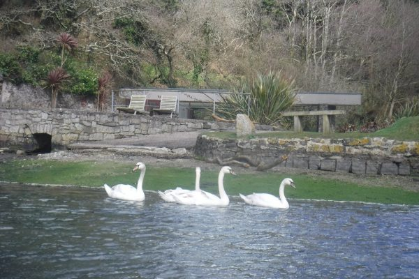 Swans at the Budock Vean Hotel foreshore