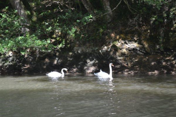 Swans Frenchmans Creek