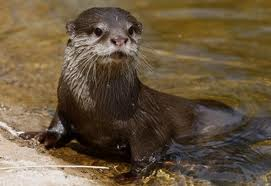 Baby otter spotted on our Frenchman's Creek Kayak Adventure!