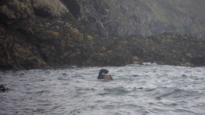 Grey seal grabs a bite to eat on this morning's kayak adventure