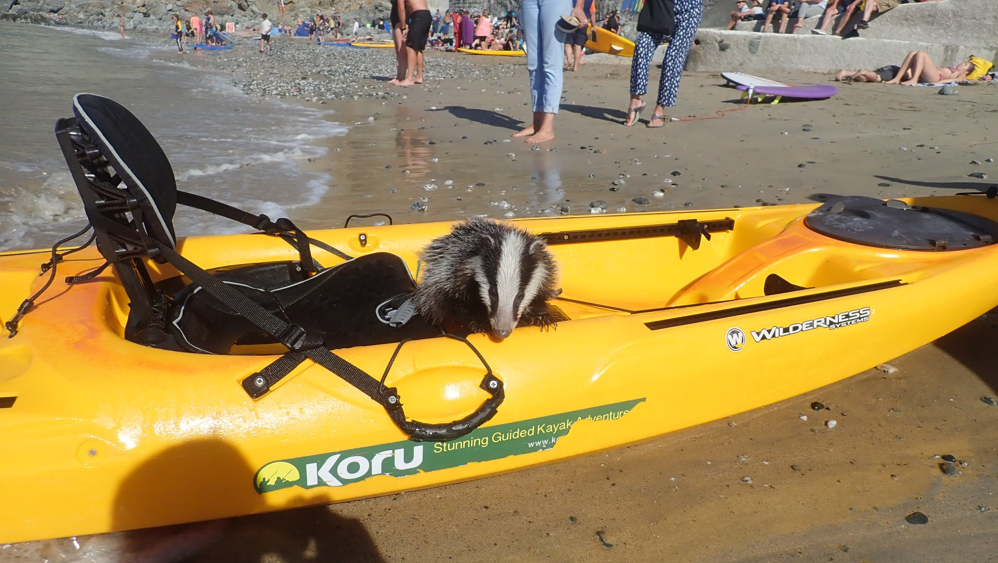 Badger rescue by Koru Kayaking